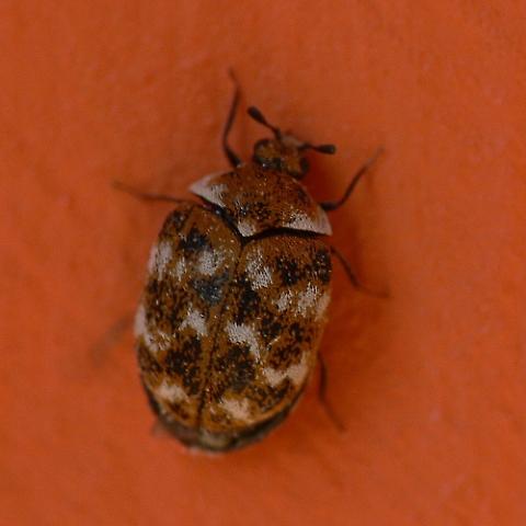 A Scientific Pest Control Beetles